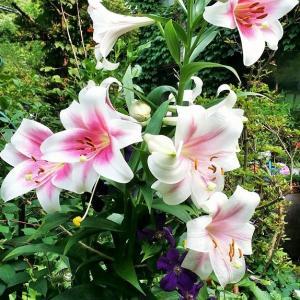 Webお花見(写真でお花見) 第74会場    レポート@プルミ会会長さんのお庭