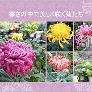 おはなしのタネNo.10 韓国プルミ会より 寒さの中で咲いた菊
