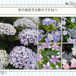 おはなしのタネ No.43 梅雨の風情たっぷりの紫陽花たち