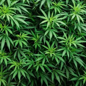 大麻ビジネスの波を真剣に考えてみる