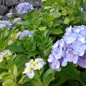 お花見ラン〈6月の紫陽花編〉