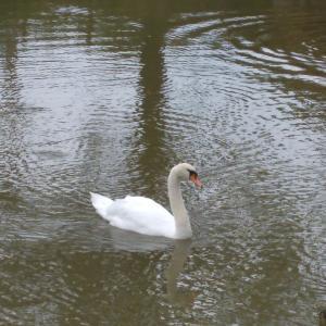 白鳥とやっと会えたカタツムリ
