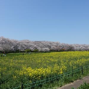 桜の名所へお花見
