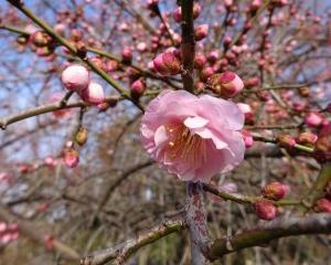 枝垂れ梅開花