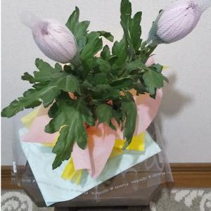 今週のお花は、イオンのお花屋さんにてアナスタシアを購入!