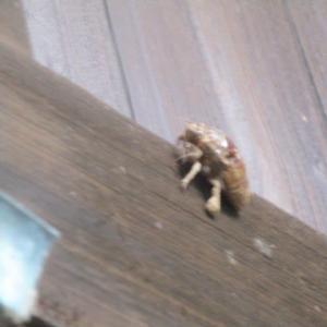 セミはいくらでも見れるけど、幼虫は見る機会が少ないよ