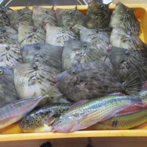 カワハギ釣りは楽しい(^^♪