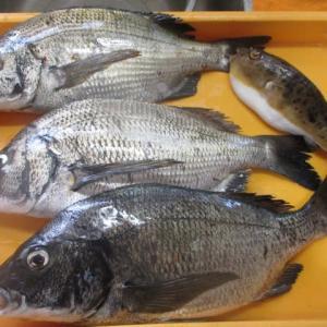 なんだかんだと言ってやっぱりクロダイ釣りは面白い(^_^)v