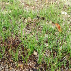 素人が庭に芝生を種から植えてみたら、成功するか【成長編】