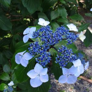 東北屈指の紫陽花スポット「みちのくあじさい園」