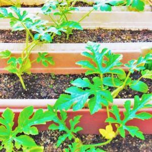 家庭菜園の土作りや虫の駆除など失敗談