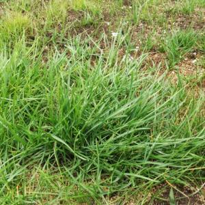 素人が庭に芝生を種から植えてみたら、成功するか【追い蒔き編】