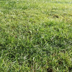 素人が芝生を種から植えてみた「芝キープ(芝生に使える除草剤)を使ってみた編」