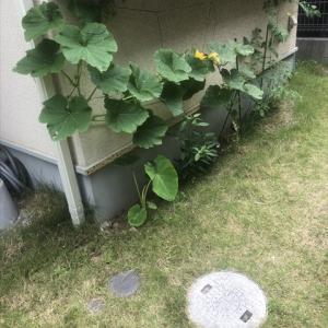 雨水菜園5 やってしまった、ミニカボチャの悲劇…