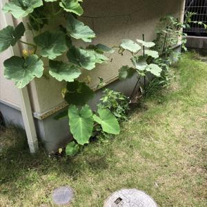 雨水菜園6 初収穫はししとう、今度はミニトマトの悲劇…