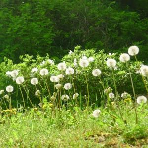 The dandelions went to seed