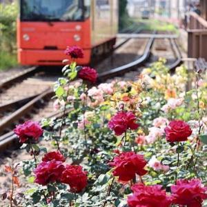 続・都電荒川線 バラが咲いていた三ノ輪橋電停です。