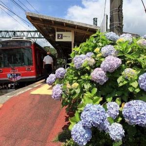 箱根登山鉄道と紫陽花です。