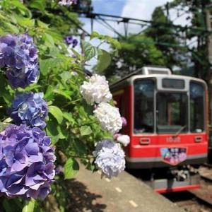 箱根登山鉄道と紫陽花、その5です。