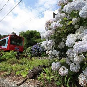 箱根登山鉄道と紫陽花、その6です。