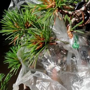 盆栽日記 – 五葉松の接ぎ木の経過