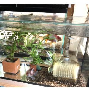 【アクアリウム】初心者でも簡単!水槽セットを紹介「GEX 金魚元気 水きれい セット」「水作 きんぎょファミリー」