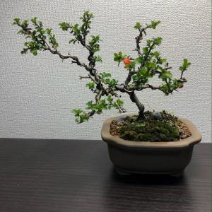 2020/4/10   花が咲きそうな長寿梅