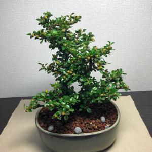 2020/5/26   紅紫檀《ベニシタン》盆栽