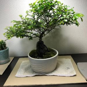 2020/6/15  欅盆栽 葉刈りチャレンジ