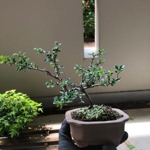 2020/6/29  長寿梅盆栽 予防的な植え替え