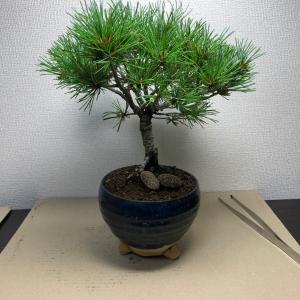 2020/7/6   五葉松盆栽 古葉取り