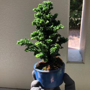 2020/8/18   石化檜盆栽