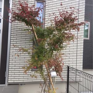 シンボルツリーの紅葉