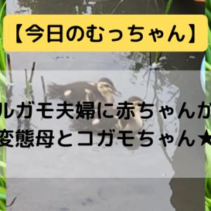 【今日のむっちゃん】カルガモ夫婦に赤ちゃんが!変態母とコガモちゃん★