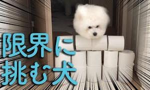トイレットペーパーチャレンジしたら犬がすごいことになったw【ビションフリーゼわたまる】dog toiletpaper challenge