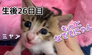 【育児放棄された赤ちゃん猫の成長記録】生後26日目