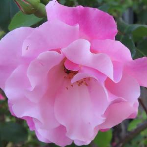ささやかに薔薇の花