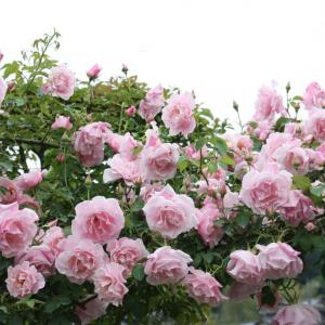 今年の薔薇の庭は