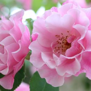 今年の薔薇は素敵でしょう