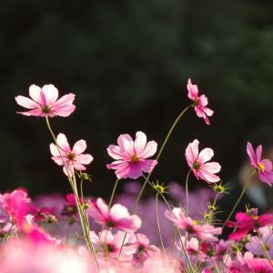 手術後7ヶ月 秋桜の季節  2020.1025