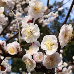 梅と河津桜(^_-)-☆