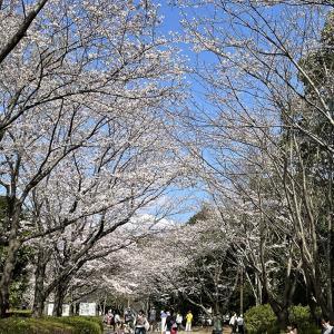 桜が満開(*´▽`*)
