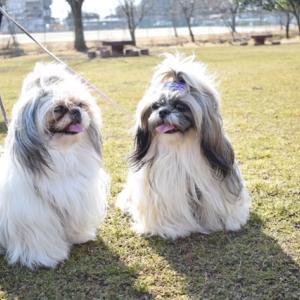 うちで飼っている犬達の謎にせまる!シーズー