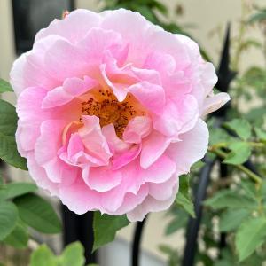10月16日に咲いているバラ