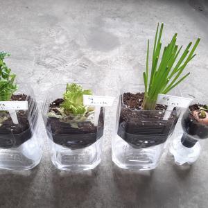 ペットポトルを再利用した野菜の再生栽培~9日目~