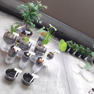 ペットポトルを再利用した野菜の再生栽培~家庭菜園にハマっちゃいました(笑)~