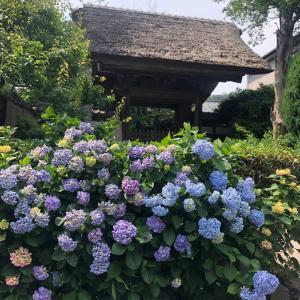 極楽寺の紫陽花が見ごろ