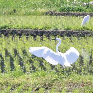 田んぼに水が入ると野鳥が増えた気がする