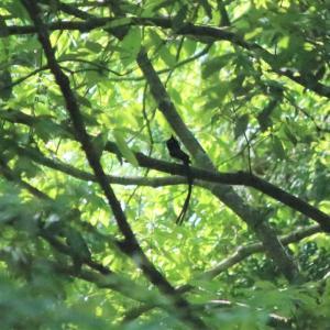 憧れの鳥サンコウチョウといつも見られる鳥たち