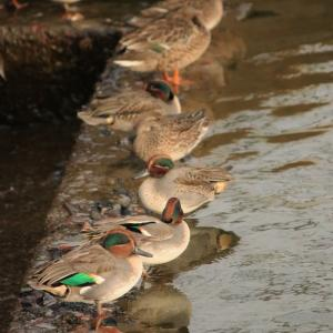近所の堰を覗いてみたら思った以上に鳥がいて嬉しかった!